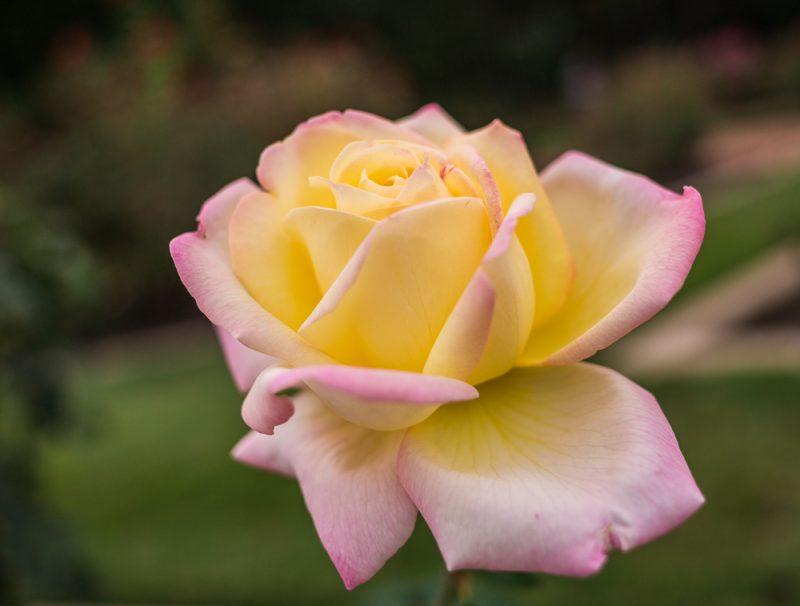 181023 roses botanical IMG_7898 S