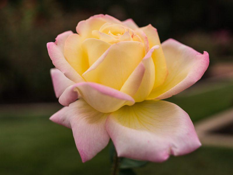 181023 roses botanical IMG_7901 S