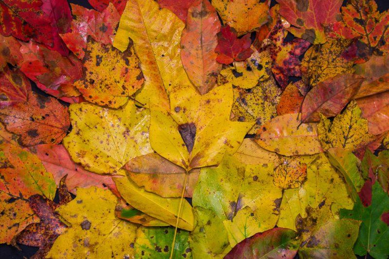 181027 Leaves of Dunnavant ValleyIMG_8735 S