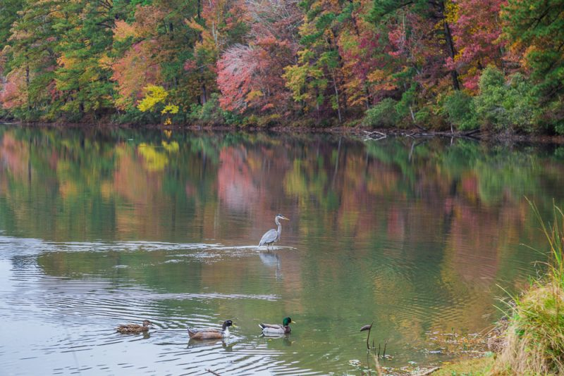 181106-Blue-Heron-at-Oak-Mountain-Lake-Tranquility-IMG_0009 S