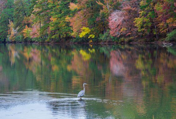 181106-Blue-Heron-at-Oak-Mountain-Lake-Tranquility-IMG_0014 S