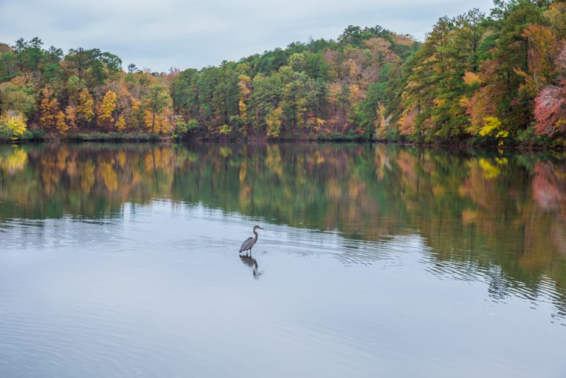 181106-Blue-Heron-at-Oak-Mountain-Lake-Tranquility-IMG_0025 S