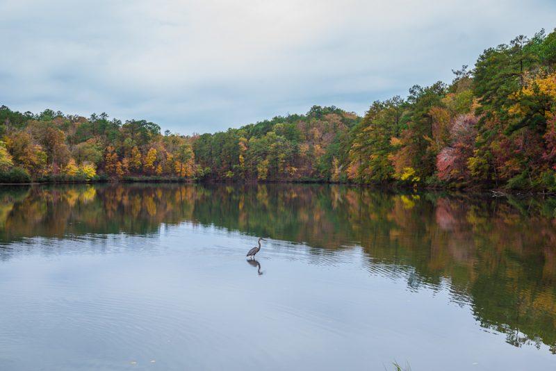 181106-Blue-Heron-at-Oak-Mountain-Lake-Tranquility-IMG_0026 S
