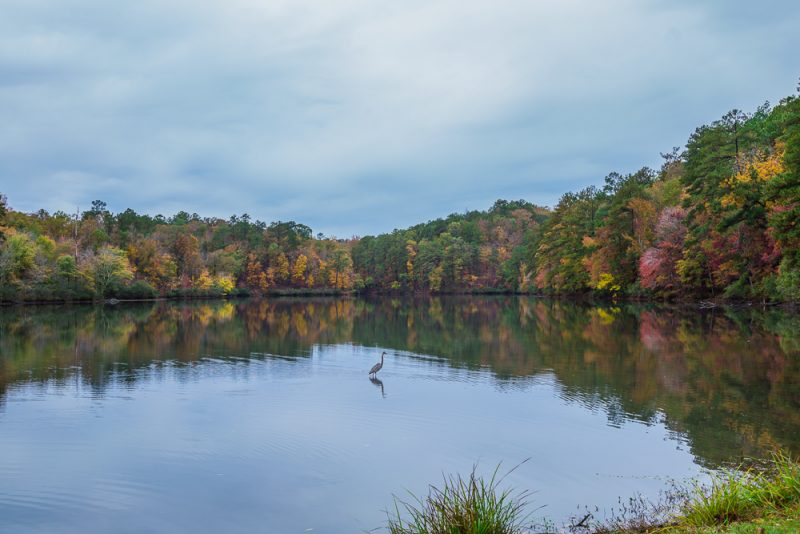 181106-Blue-Heron-at-Oak-Mountain-Lake-Tranquility-IMG_0036 S