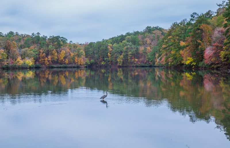 181106-Blue-Heron-at-Oak-Mountain-Lake-Tranquility-IMG_0058 S