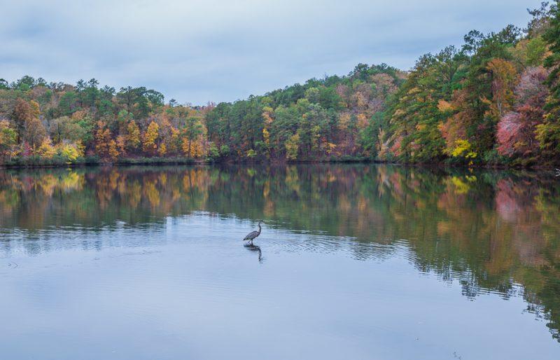 181106-Blue-Heron-at-Oak-Mountain-Lake-Tranquility-IMG_0058 S