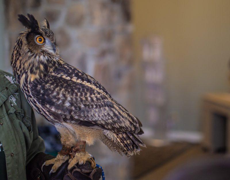 190218 Oak Mountain Eurasian Eagle Owl IMG_6829 s