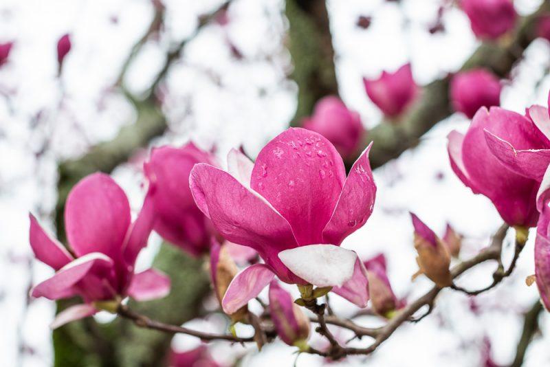 190223 Japanese Magnolia Tulip IMG_7598 s