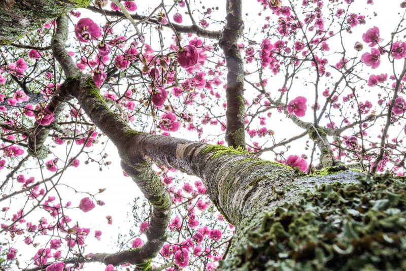 190223 Japanese Magnolia Tulip IMG_7703 s