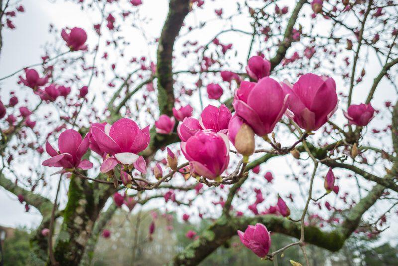 190223 Japanese Magnolia Tulip IMG_7735 s
