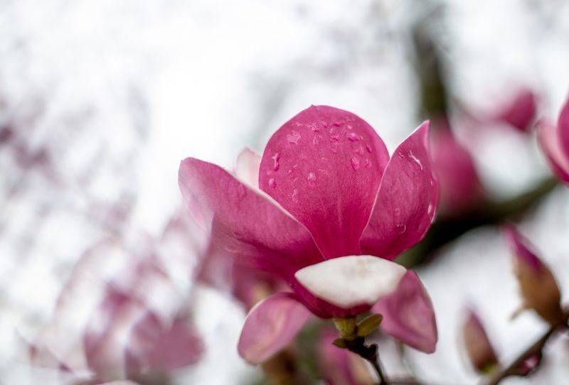 190223 Japanese Magnolia Tulip IMG_7789 s