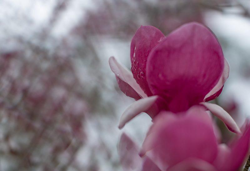 190223 Japanese Magnolia Tulip IMG_7799 s