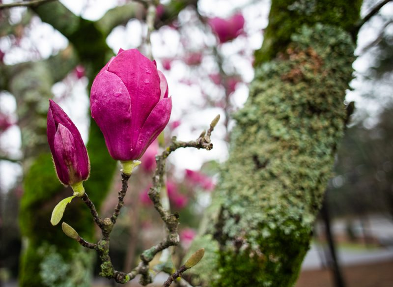 190223 japanese magnolia IMG_7731 s