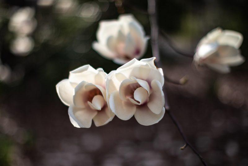 190227 flowers Botanical Gardens IMG_8261 s