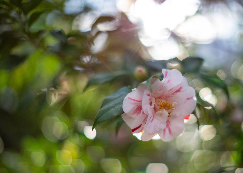 190227 flowers Botanical Gardens IMG_8303 s