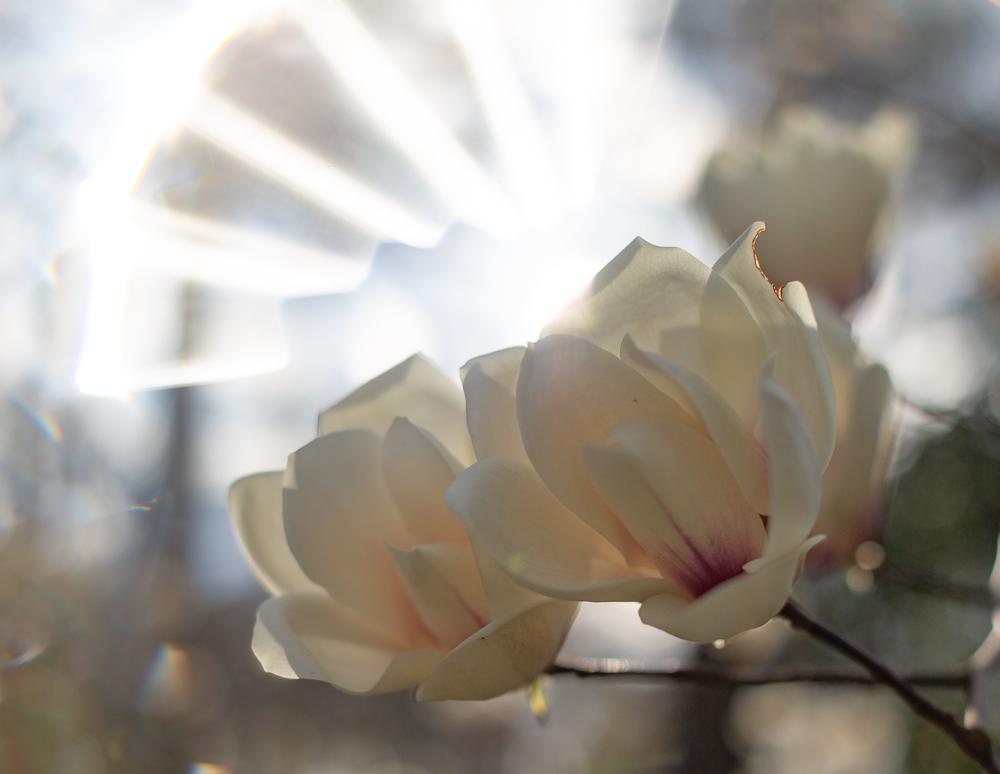 190227 halo flowers Botanical Gardens IMG_8268 s