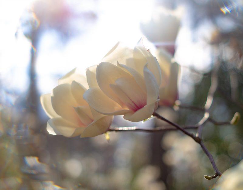 190227 halo flowers Botanical Gardens IMG_8276 s