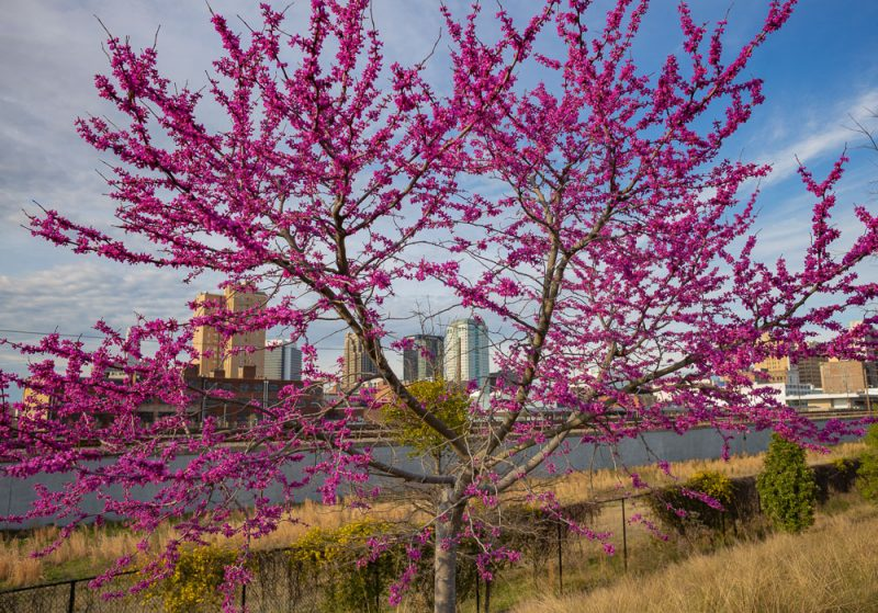 190312 Railroad Park Red Bud Trees and Sunset IMG_0608 s