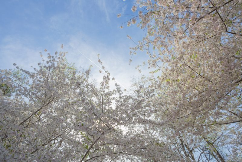 190318-japanese-cherry-trees-on-a-sunny-day-IMG_1480 s