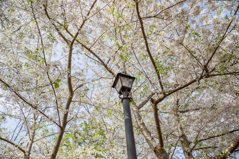 190318 japanese pear tree and lamp post IMG_1338 s