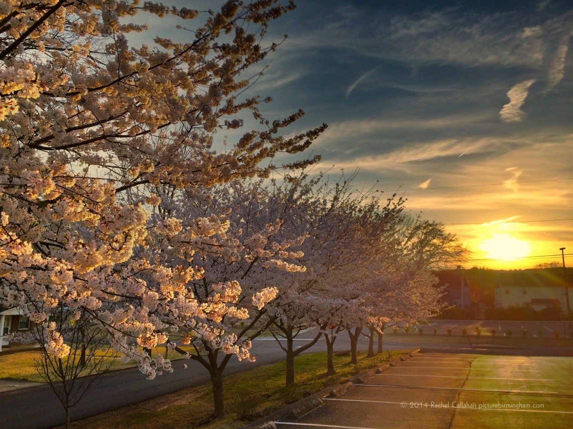 Japanese Cherry Trees Basking in the Warmth of Birmingham