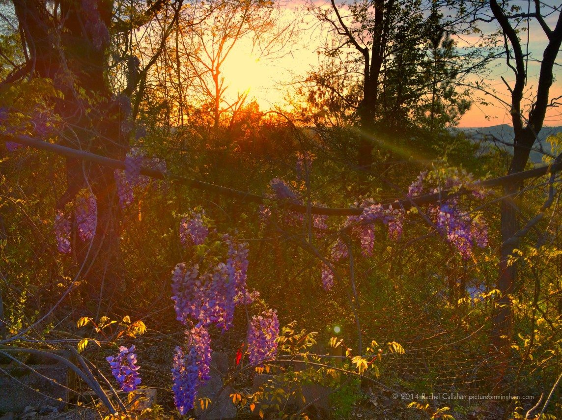 A Wisteria-Covered Sunset