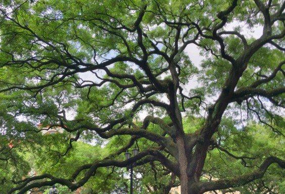 Trees of Savannah