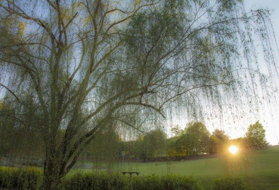 What the Weeping Willow Sees
