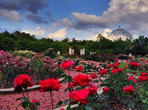 Rose Garden in Full Bloom