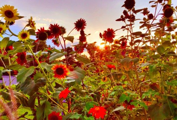 150827 Aromatic Sunset in Crestline