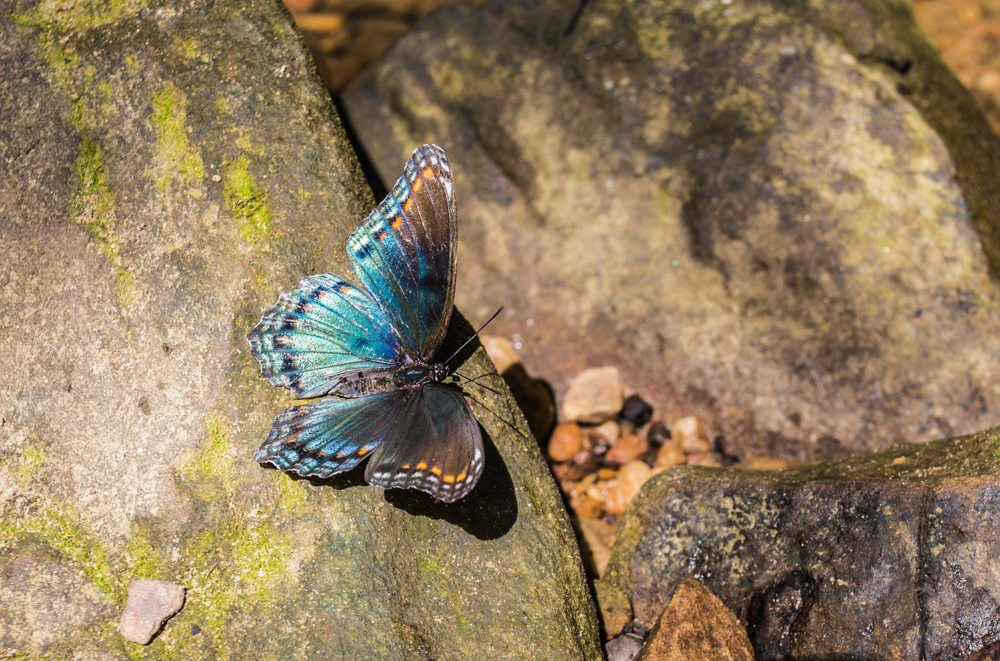 150922c-Butterfly-at-Moss-Rock
