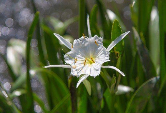 160524b-Cahaba-Lillies