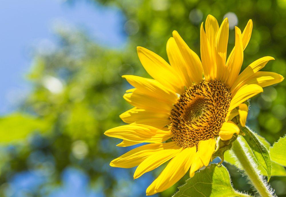 160624b-Aldridge-Flower