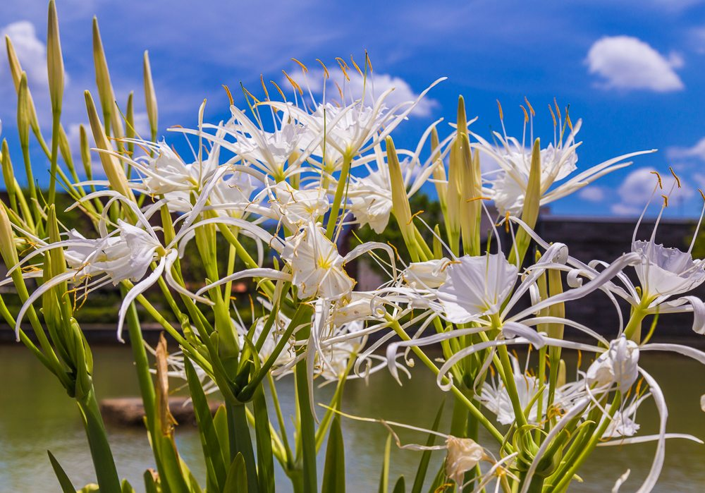 160708-Cahaba-ish-Lilies-at-Railroad-Park