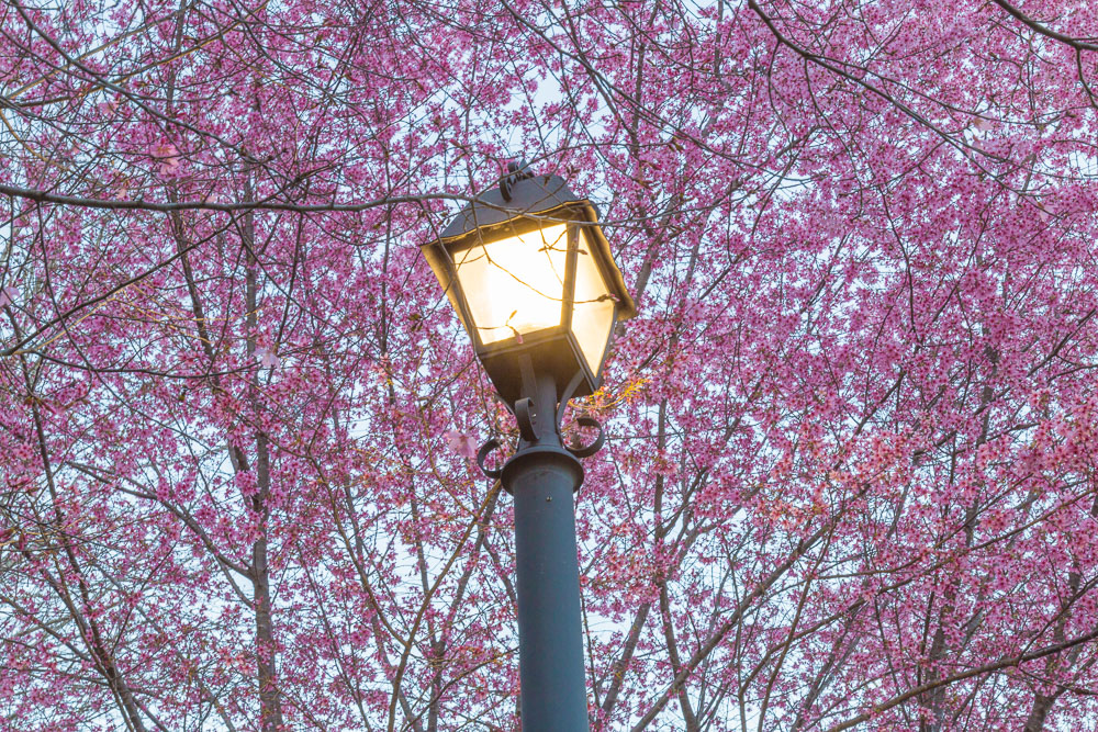 170225d Lamp Light and Red Bud Tree_MG_5162_8869