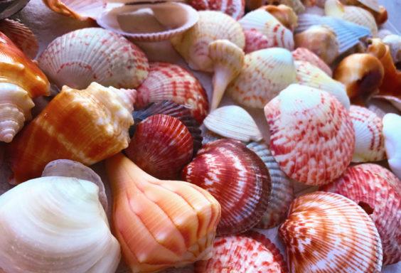 170624b Shells at Navarre Beach s