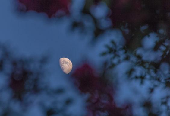 170801e-Moon-Between-the-Hydrangeas_MG_0490 s