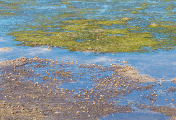 170817 Fiddler Crabs in the Bay_MG_2482 s
