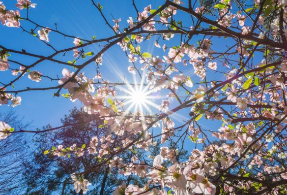 180302 Camellias at Aldridge Gardens IMG_4759 s