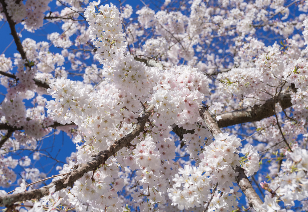 180308-Japanese-Cherry-Blossoms-IMG_5869 s