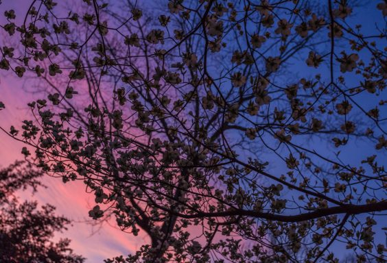 180315 Flowering Trees watching the sunset IMG_6695 s