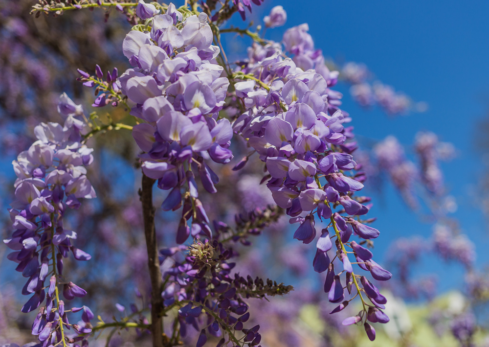180322 Wisteria and Blue Skies IMG_7742 S