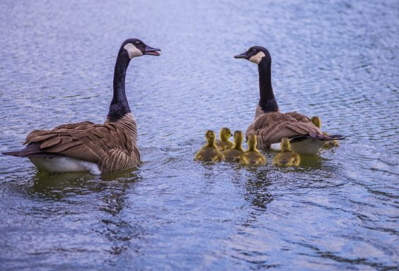 180425 Baby Geese at Oak Mountain IMG_2030 s