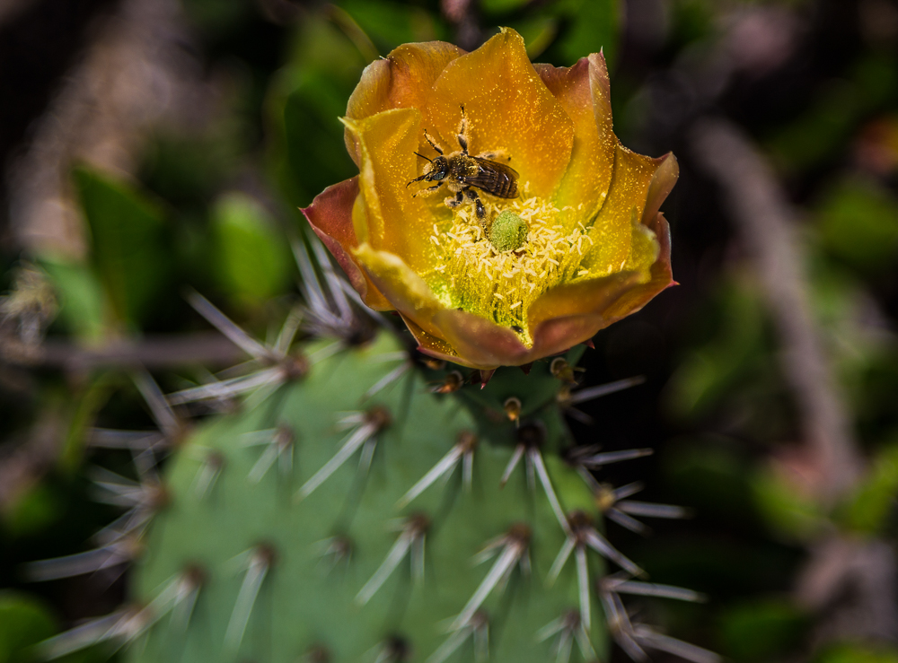 180509-The-Bee-in-the-Cactus-Flower-Newport-Beach-IMG_8264