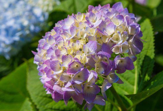 180520 Mary Jane's Hydrangeas IMG_8189