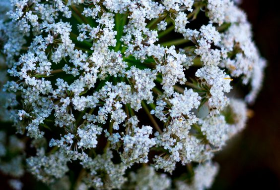 180628 Queen Anne's Lace re IMG_7951 small