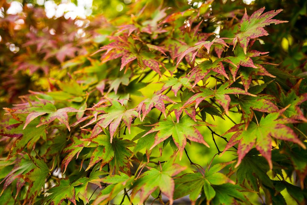 181023 christmas leaves botanical IMG_7785 S