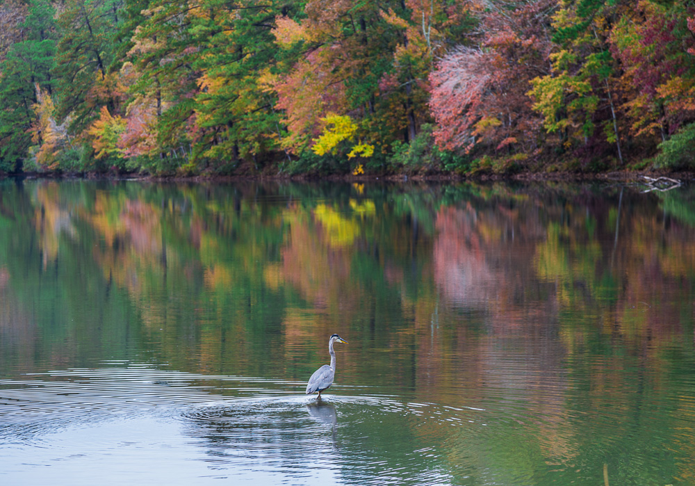 181106-Blue-Heron-at-Oak-Mountain-Lake-Tranquility-IMG_0014 S