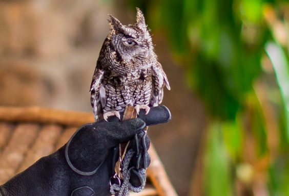 190218 Oak Mountain Screech Owl IMG_6760 s