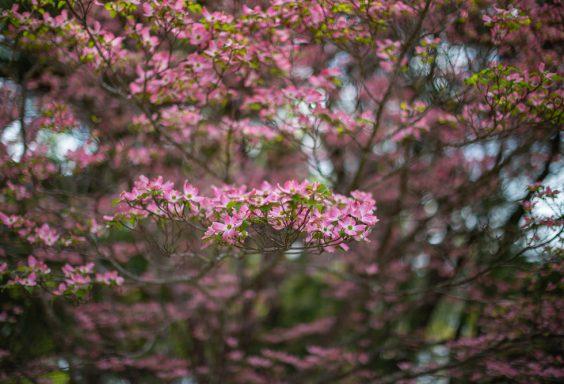190405 star lake pink dogwood blooms IMG_3248 s